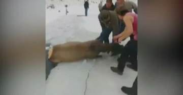 AMAZING! 13 Elk Rescued from Freezing Water By Wyoming Locals (VIDEO)