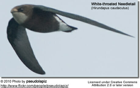 WhitethroatedNeedletail2