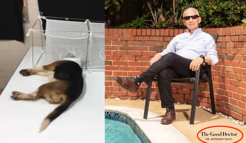 Investigators Find MONSTER Fauci's NIH Reportedly Gave $375K To Lab That Placed Live Beagle's Heads In Cages Filled With Hungry Sand Flies That Ate Them Alive