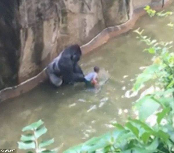 Twitter Goes Off on White People After Black Child Falls into Gorilla Pit and Gorilla Is Shot to Save Black Child